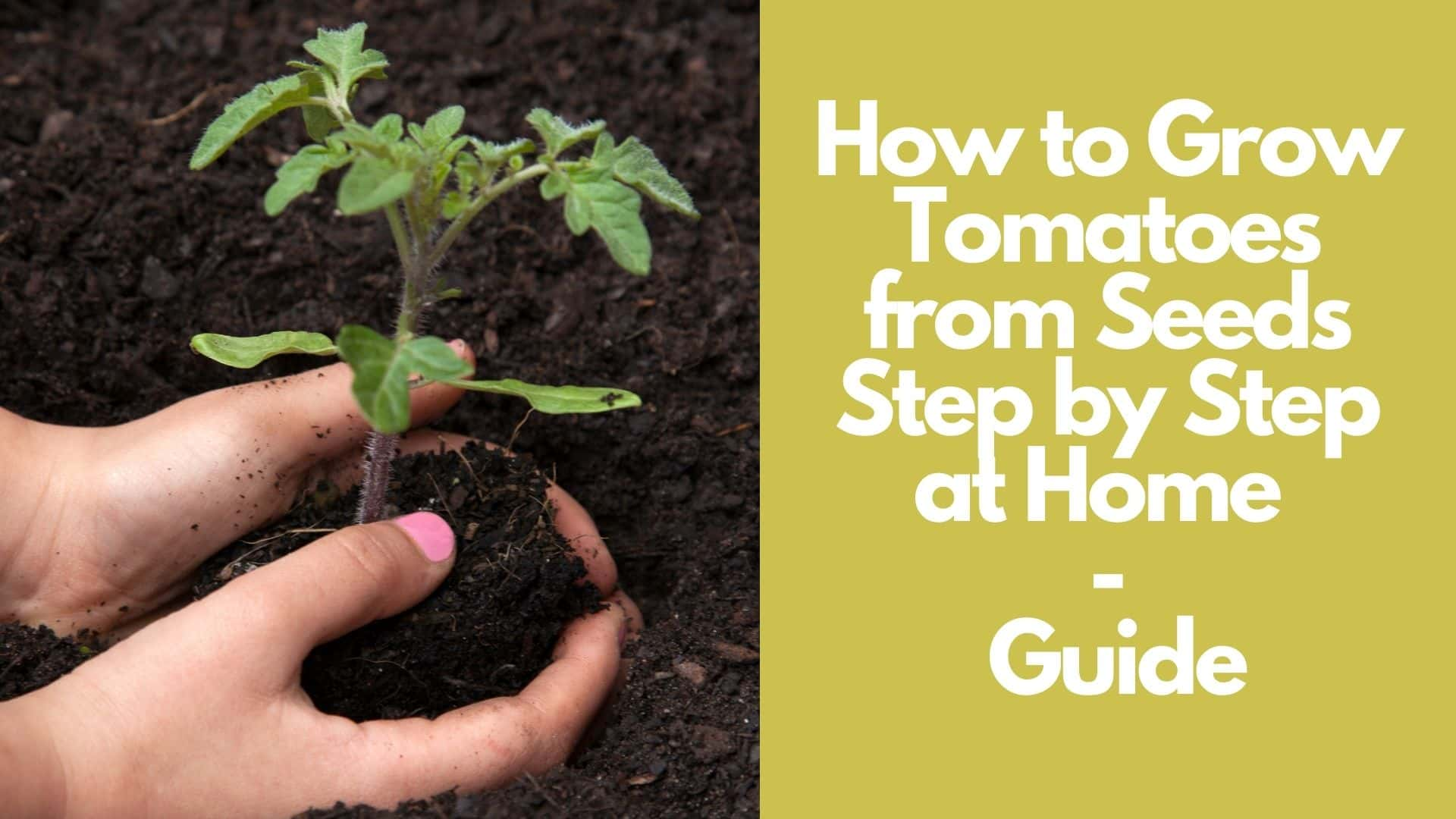 How to Grow Tomatoes from Seeds Step by Step at Home  Guide