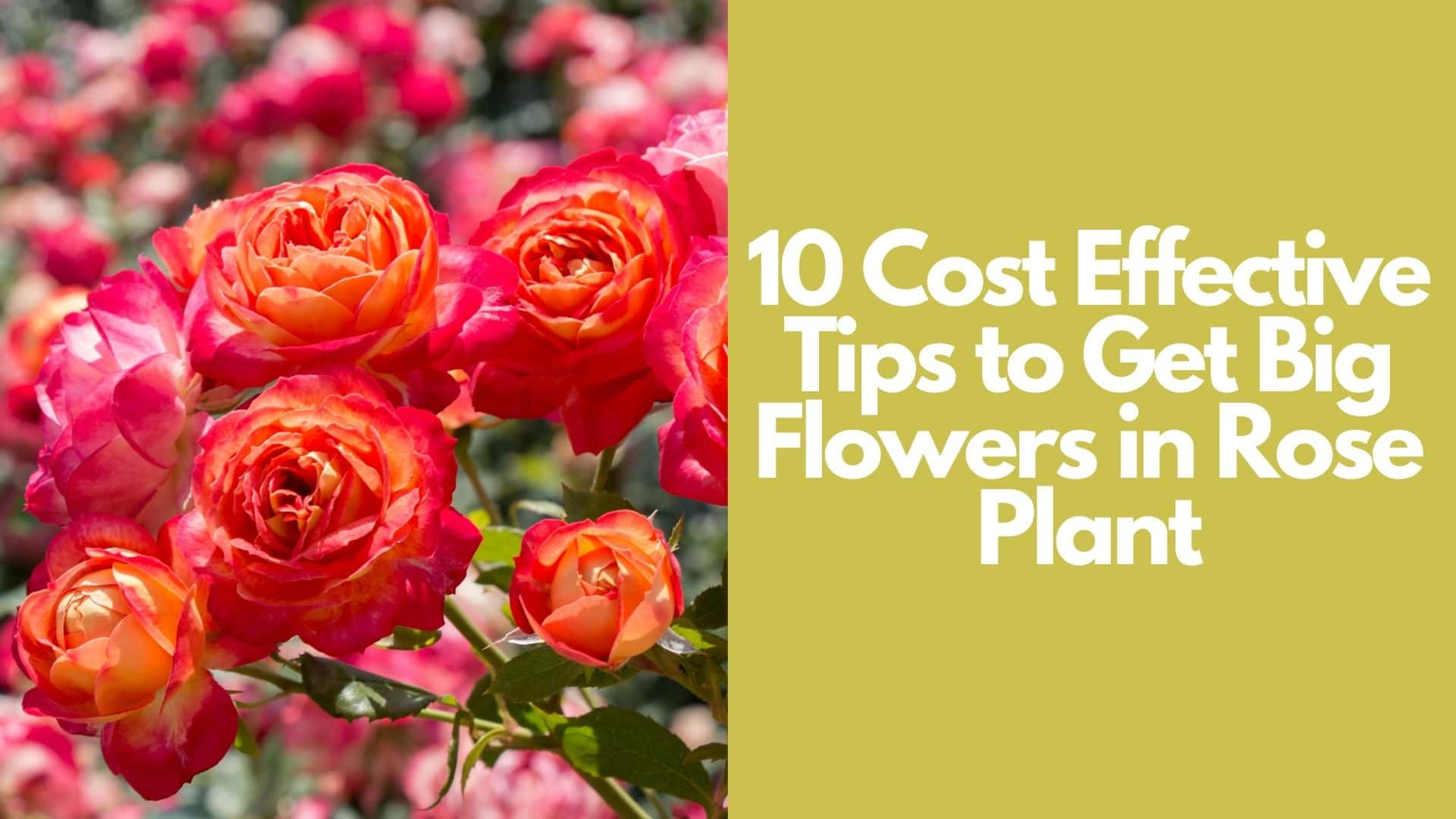 10 Cost Effective Tips to Get Big Flowers in Rose Plant