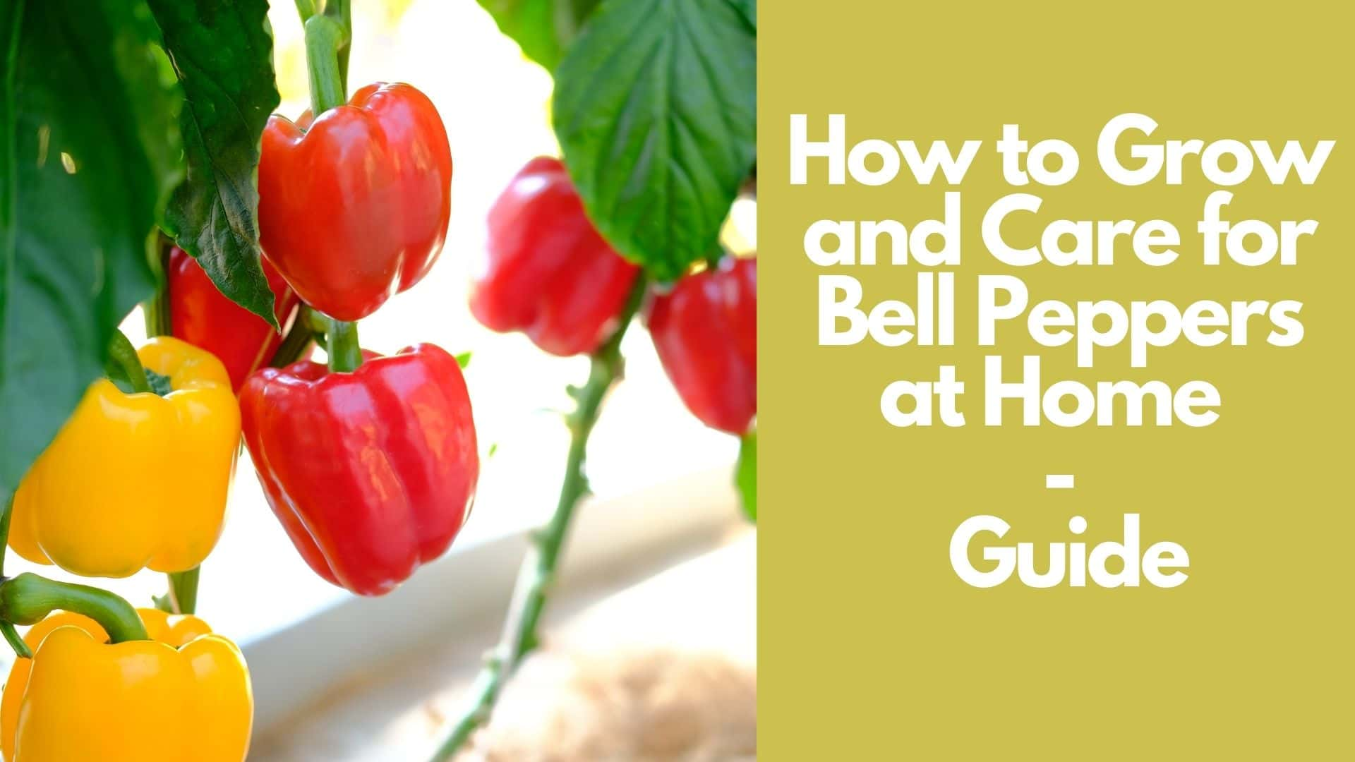 How to Grow and Care for Bell Peppers at Home Garden  Guide