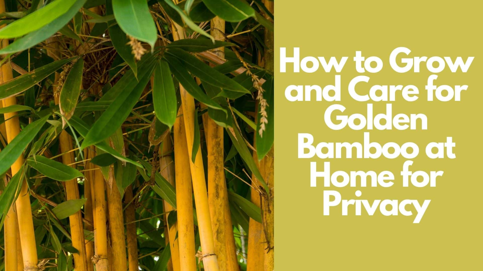 How to Grow and Care for Golden Bamboo at Home for Privacy